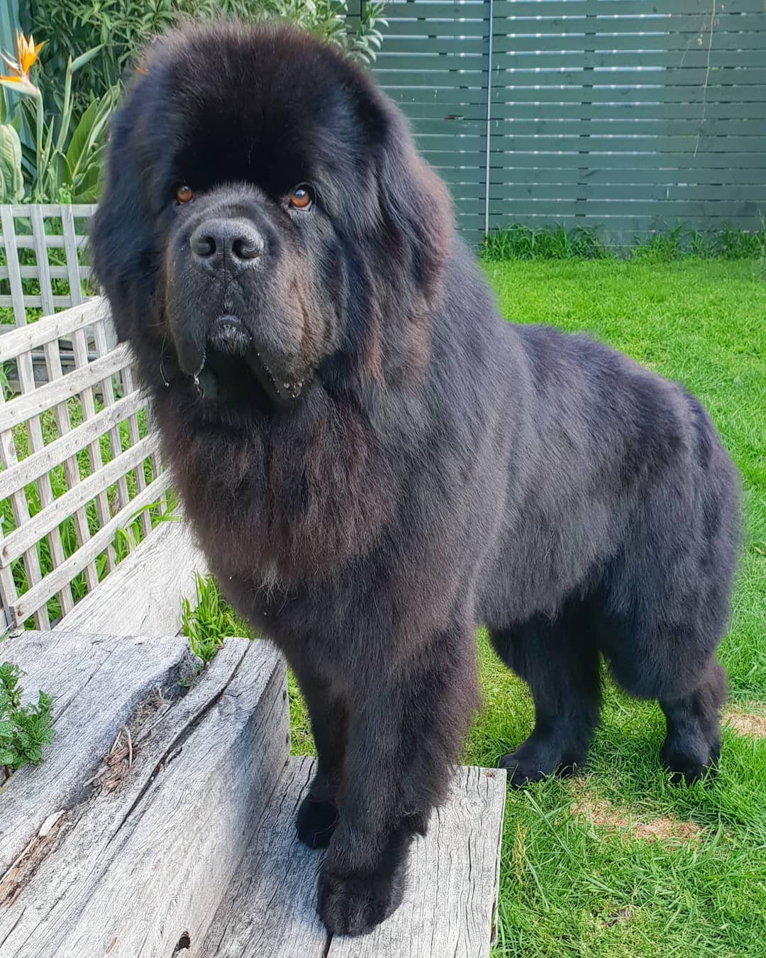 Hugo the newfie